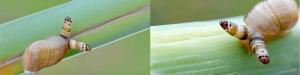 Leucochloridium infectando a un caracol